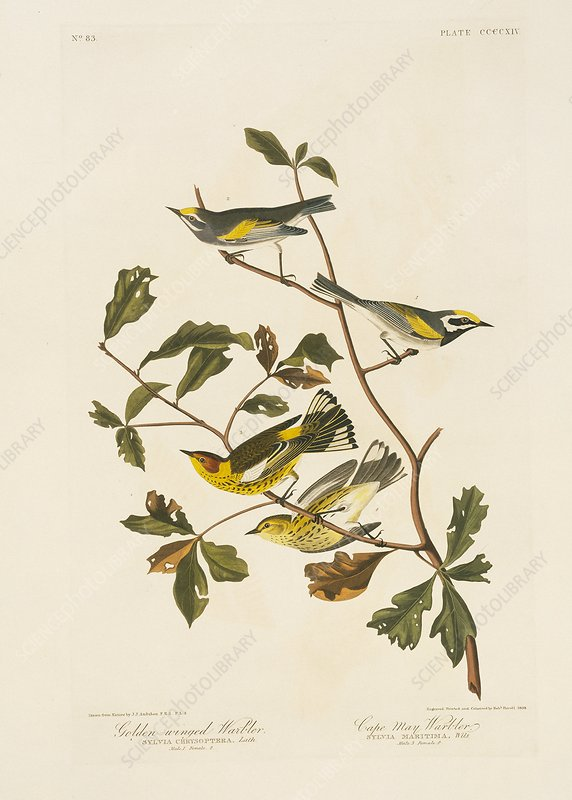 Pairs of Warblers, artwork
