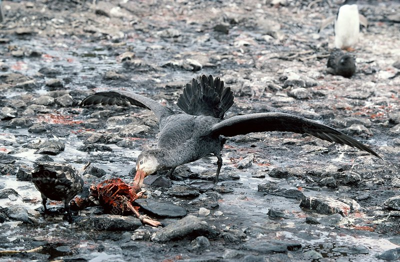 Giant Petrel eating a penguin
