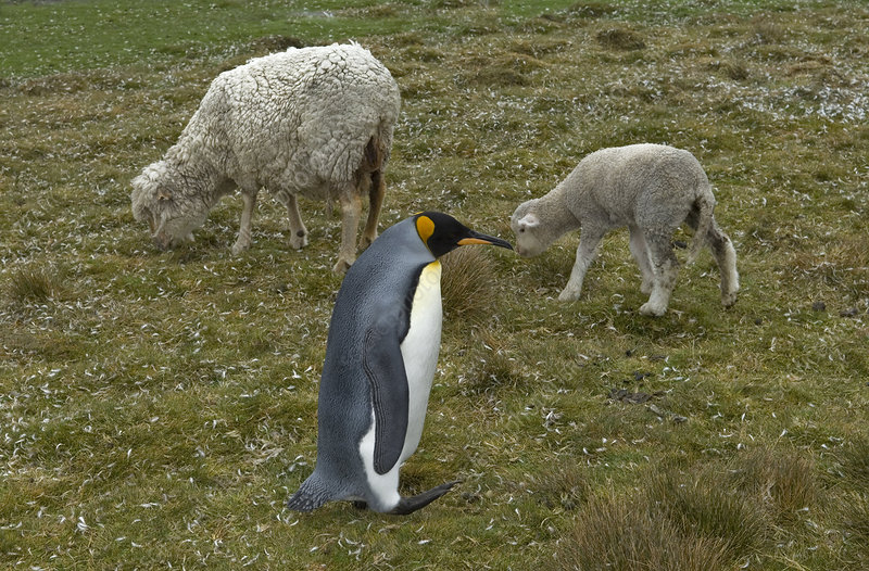 Penguin and sheep