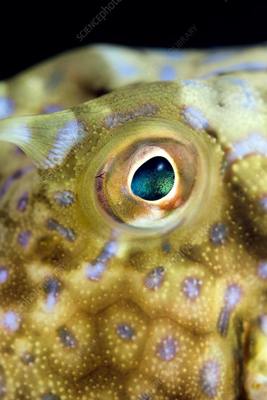 Cowfish eye