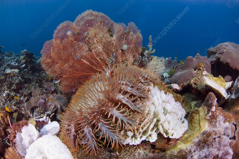 Crown of thorns starfish eating corals
