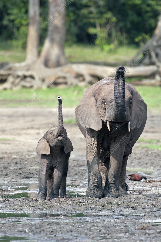 African forest elephant and calf