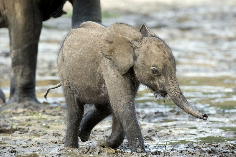 African forest elephant calf