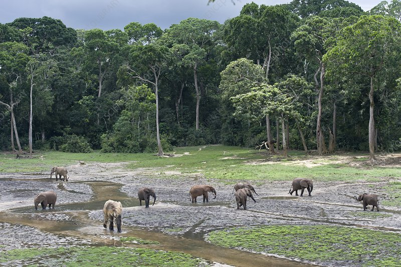 African forest elephant herd