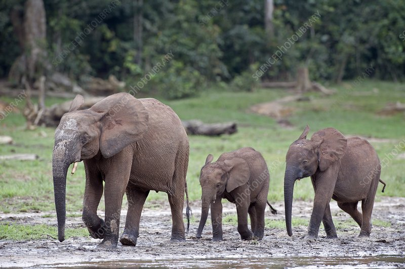 African forest elephant and calves