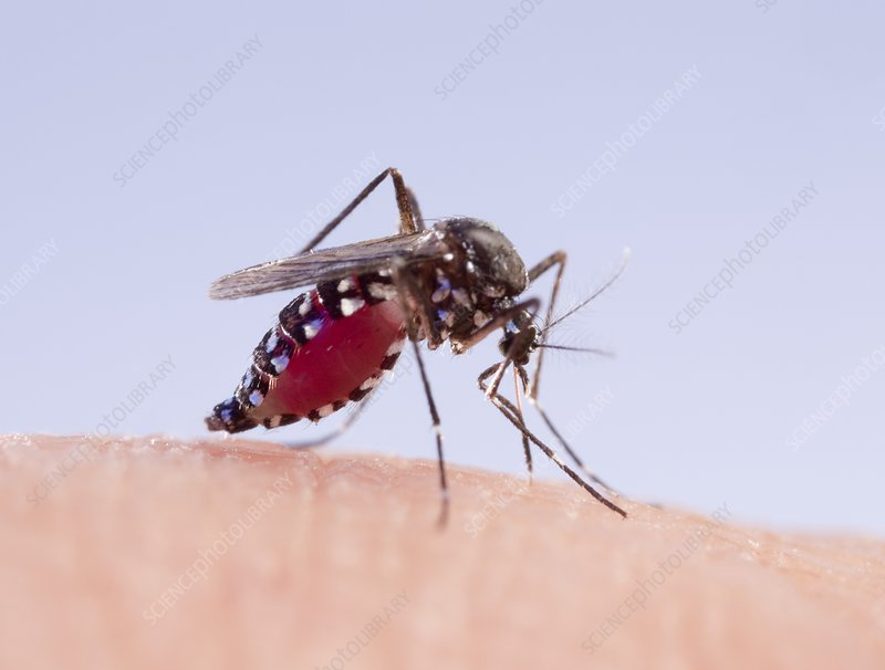 Asian tiger mosquito female feeding