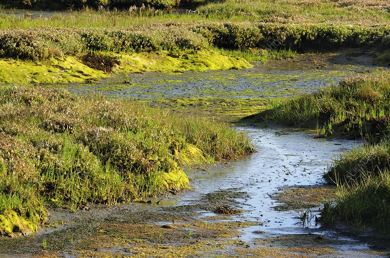 Salt marsh habitat