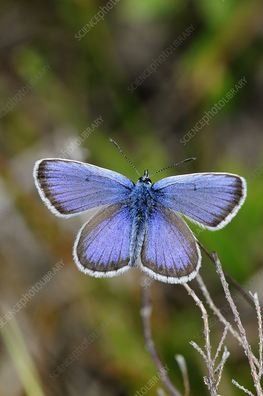 Male silver-studded blue butterfly