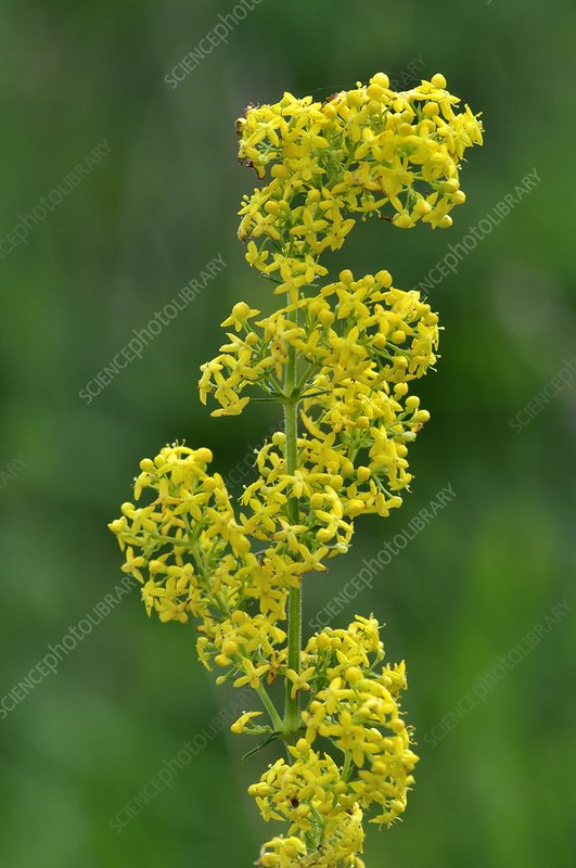 Lady's bedstraw flowers