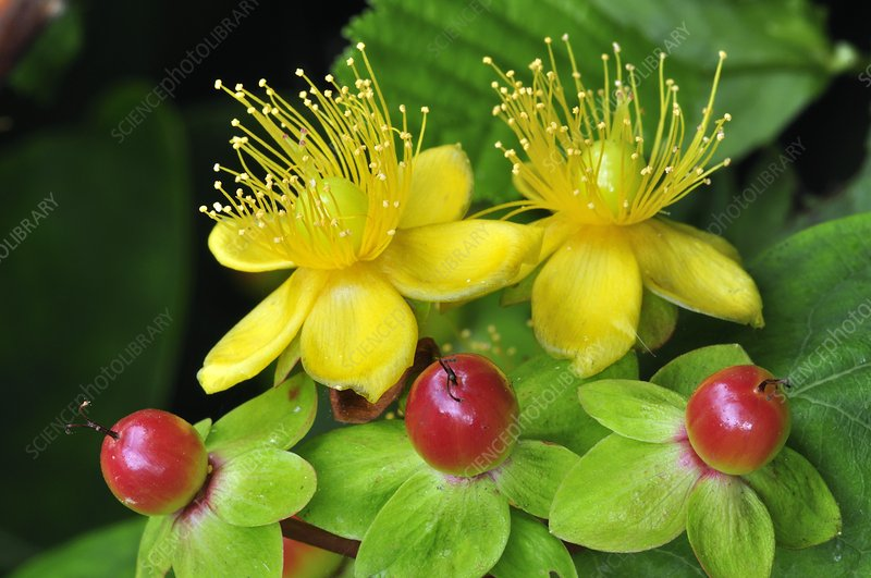 Tutsan flowers and fruit