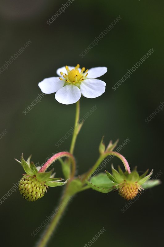 Wild strawberry flower and fruit