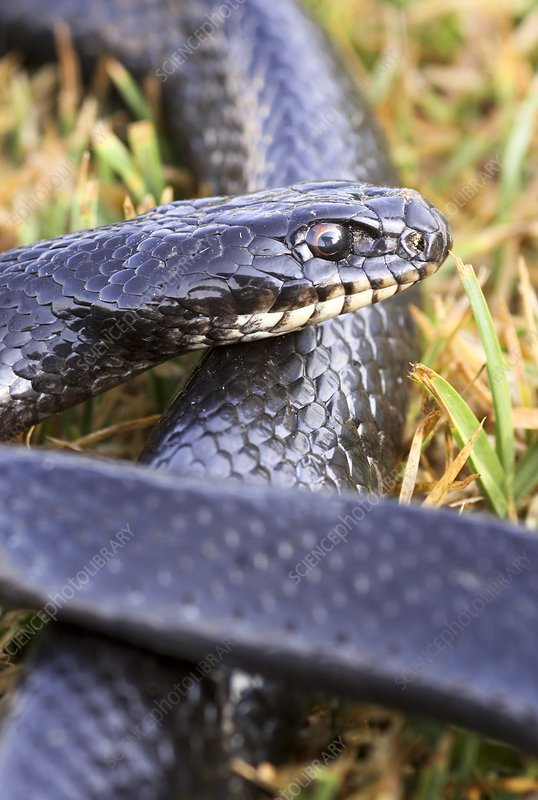 Large Whipsnake (Coluber jugularis)