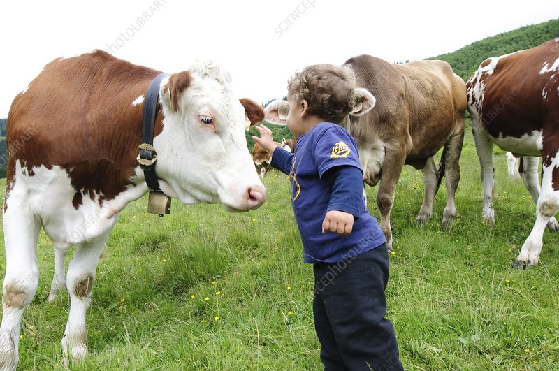 Boy in field with free grazing cows