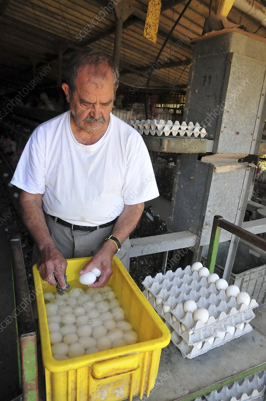 Farmer washes eggs on a poultry farm