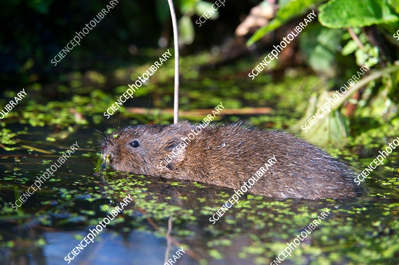 Arvicola terrestris, water vole swimming
