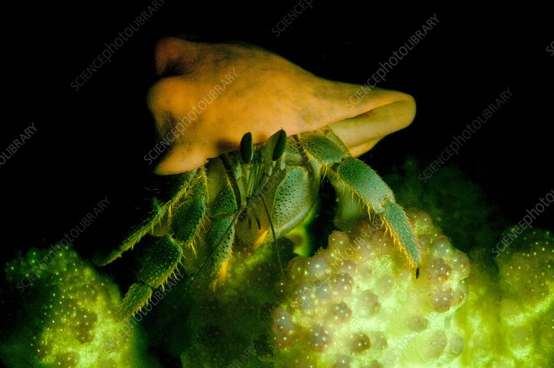 Hermit crab, on fluorescent coral