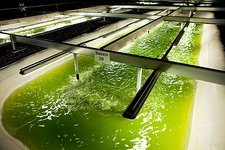 Microalgae production for biofuels