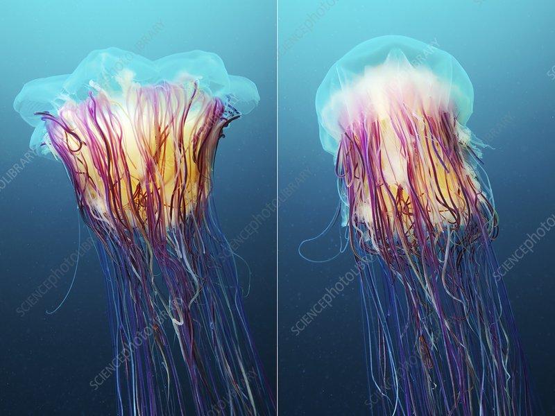 Lion's mane jellyfish, Japan