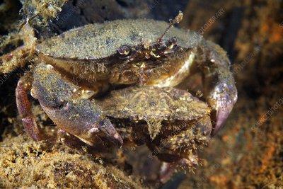 Crabs Japan