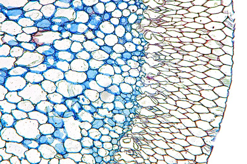 Dendrobium orchid root, light micrograph