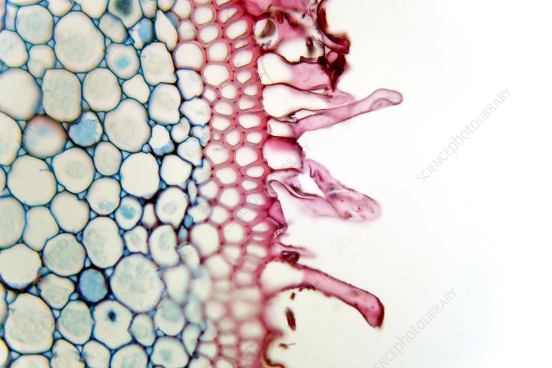 Smilax root, light micrograph