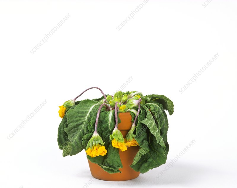 Wilting potted plant