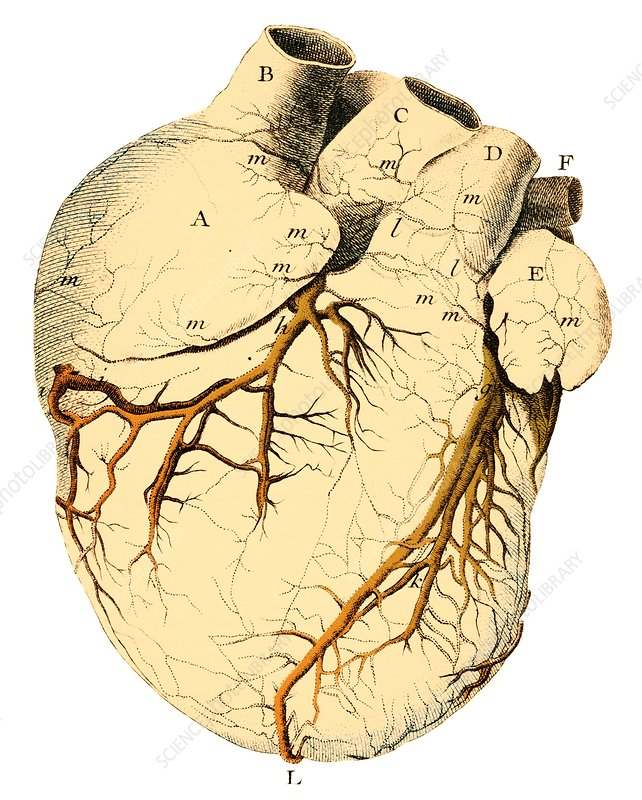 Heart anatomy, 18th century