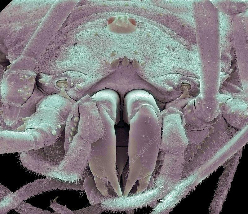 Harvestman spider, SEM