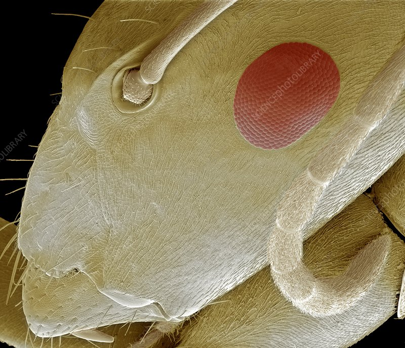 Tropical ant head, SEM
