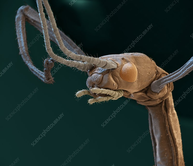Indian stick insect, SEM