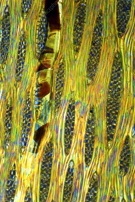 African mahogany stem, light micrograph
