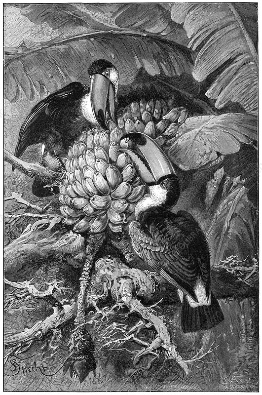 Toucans eating fruit, 19th century
