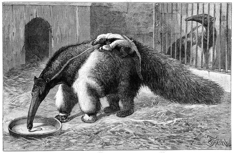 Giant anteater and cub, 19th century