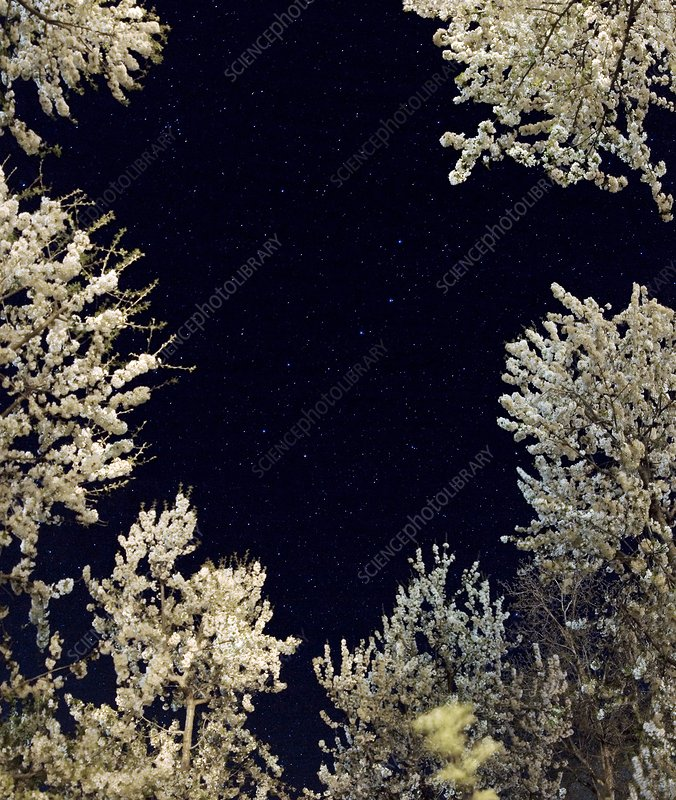 Ursa Major framed by trees