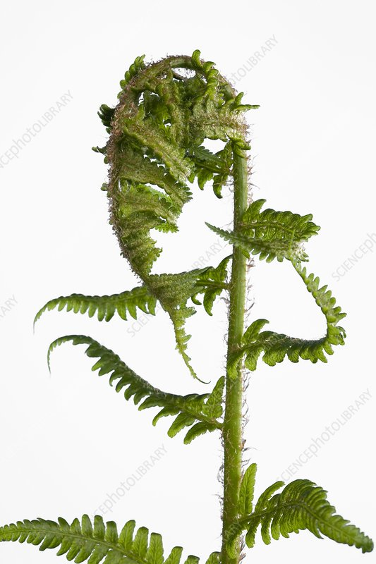 Fern (Dryopteris sp.) leaves developing