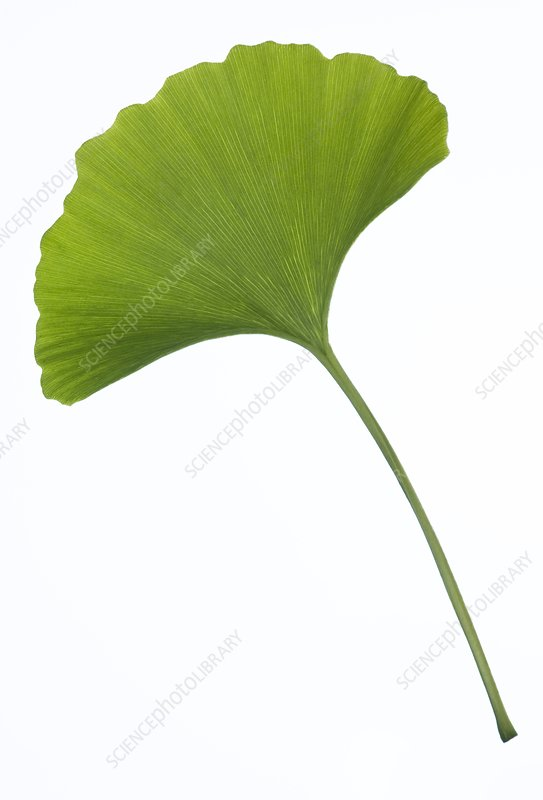Maidenhair tree (Ginkgo biloba) leaf