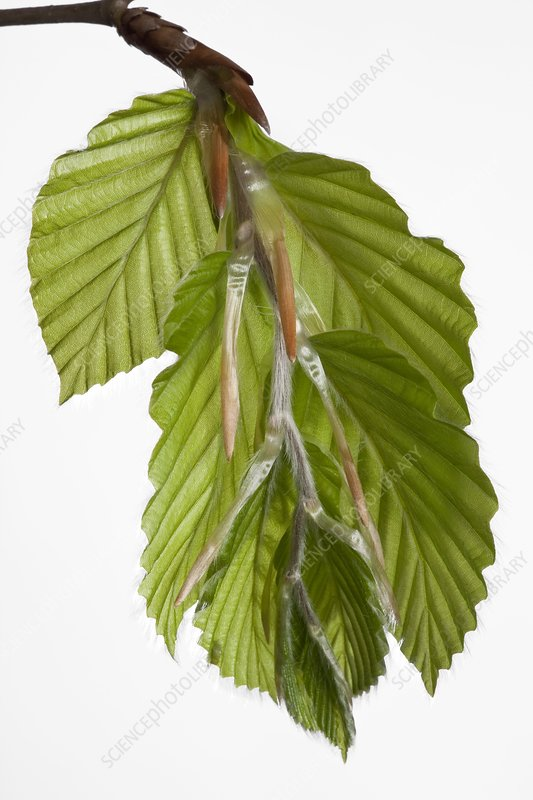 Beech (Fagus sylvatica) tree leaves