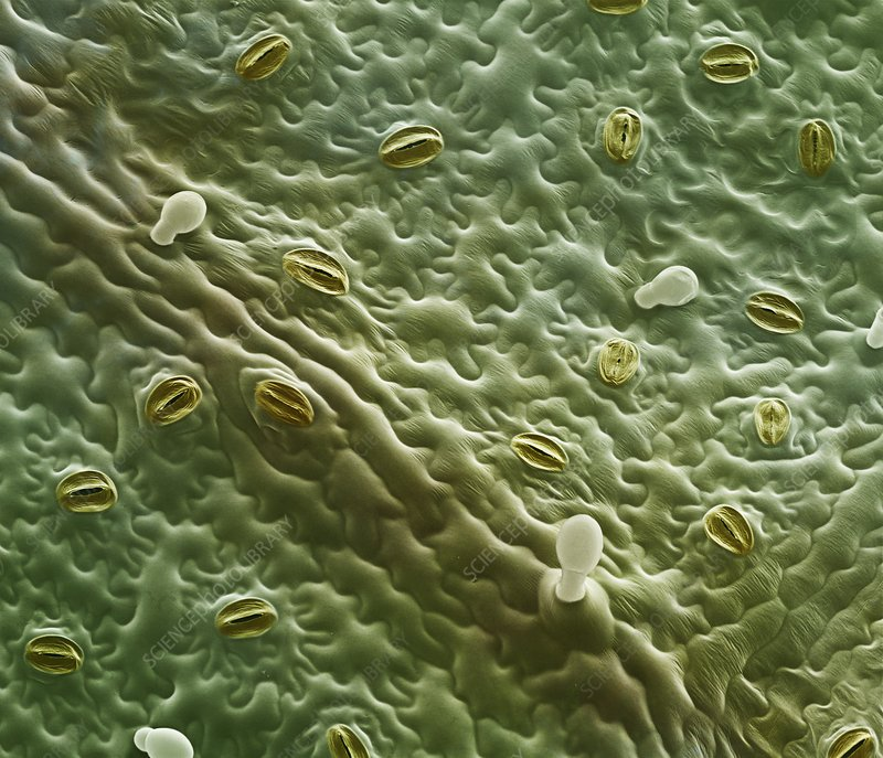 Mint leaf surface, SEM