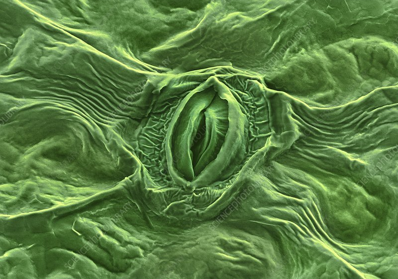 Feverfew leaf surface, SEM