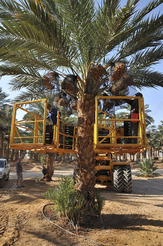 Hydraulic platform for picking dates