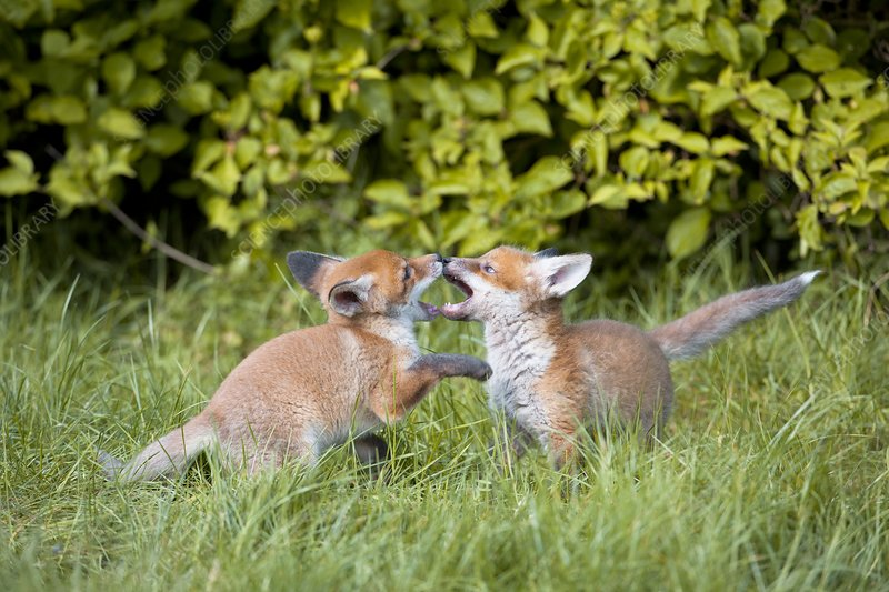 Red fox cubs playing