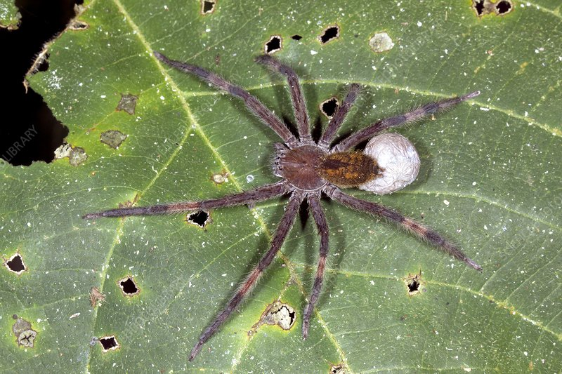 Wandering spider with eggs