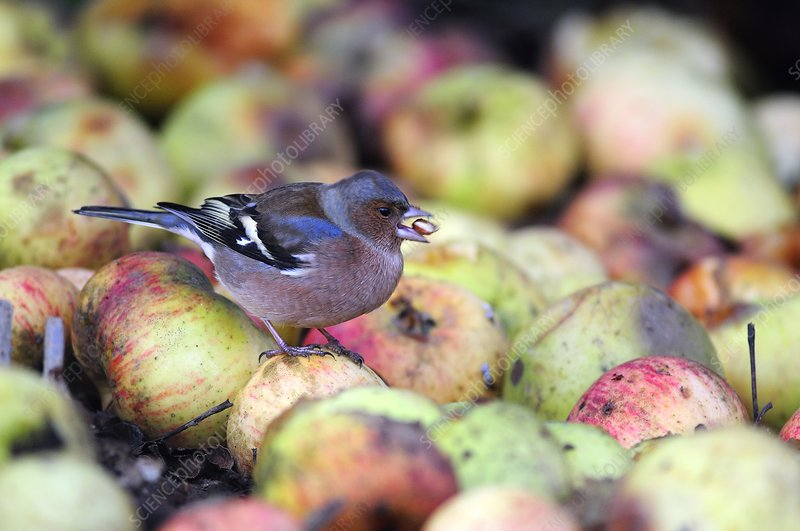 Chaffinch male eating an apple pip
