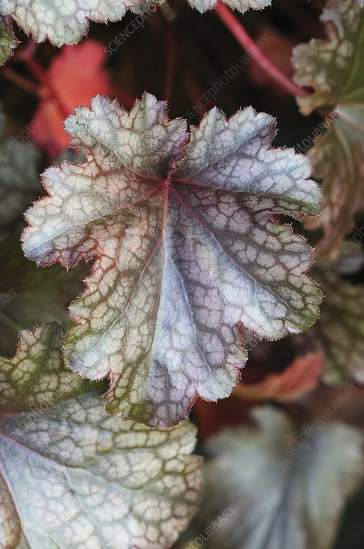 Heuchera leaves