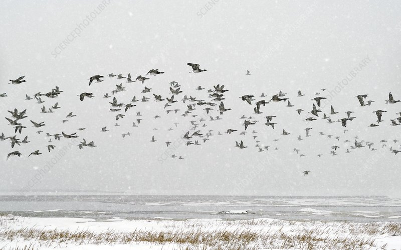 Brent goose flock in flight
