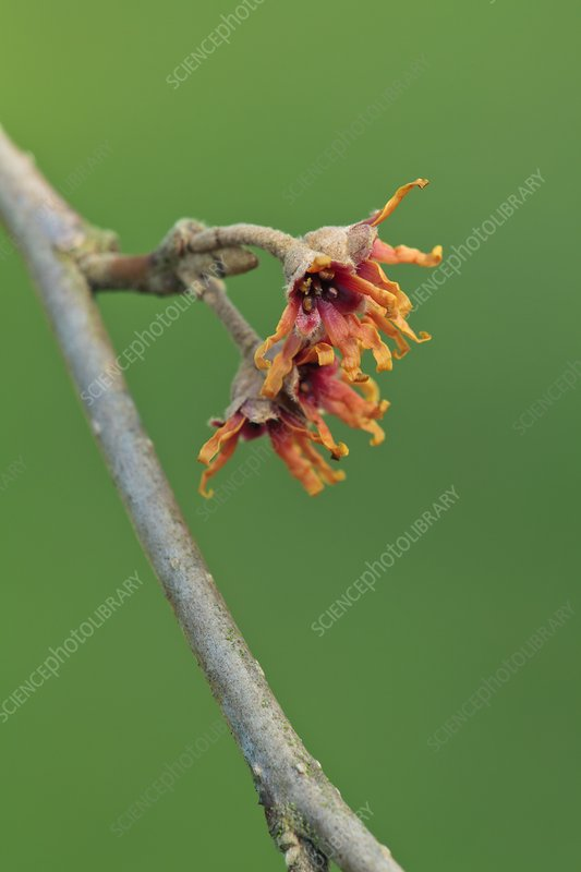 Hamamelis vernalis 'Christmas Cheer'