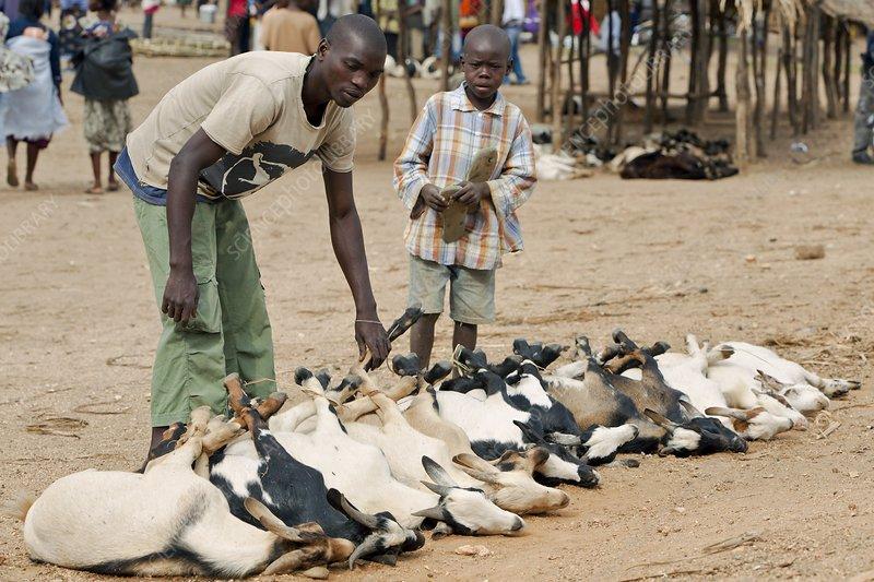 Livestock market, Mozambique