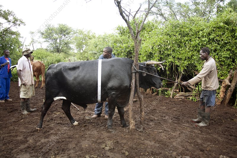 Farmers with their cattle, Zimbabwe
