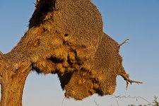 Sociable weaver bird nest, Africa