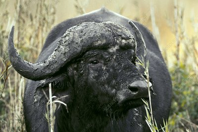 African Buffalo covered in mud
